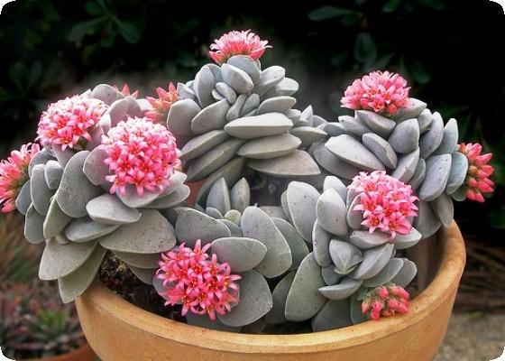 растения семейства толстянковых