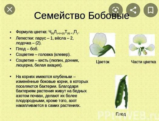 семейство мотыльковые бобовые растения