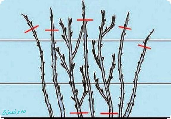схема куста малины для обрезки