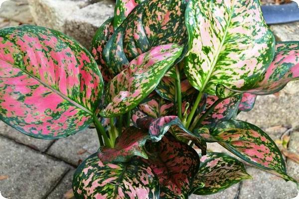комнатный растение аглаонема виды, фото, названия