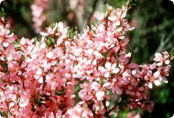 семейство розоцветные соцветие