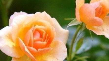Семейство розоцветные: представители, примеры, характеристика