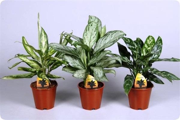 аглаонема комнатное растение фото