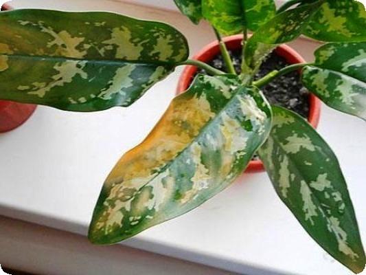 аглаонема желтеют кончики листьев