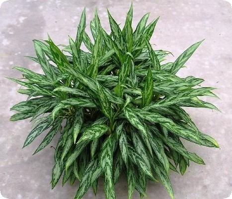 аглаонема растение