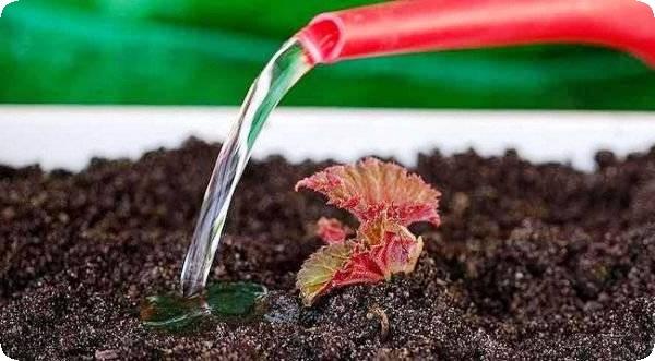 выращивание ампельной бегонии из клубня полив