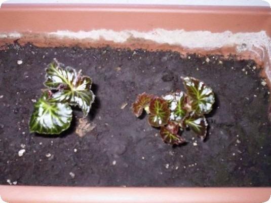 бегония ампельная выращивание из клубней в домашних