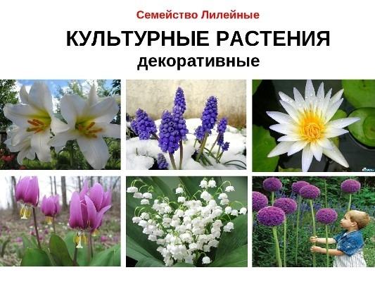какие растения семейства лилейных