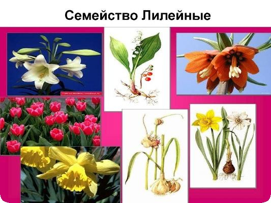 цветы семейства лилейных