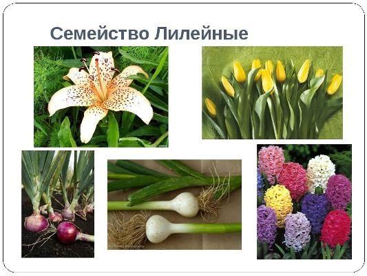 растения семейства лилейных