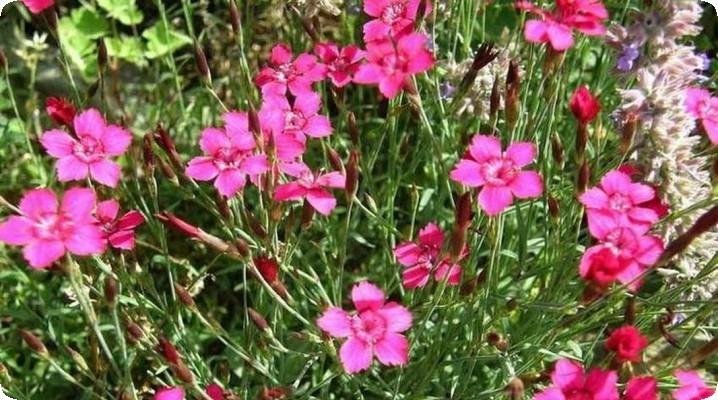 гвоздика травянка цветёт