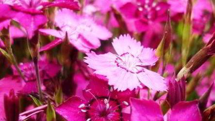 Гвоздика травянка: период и время цветения, уход после цветения