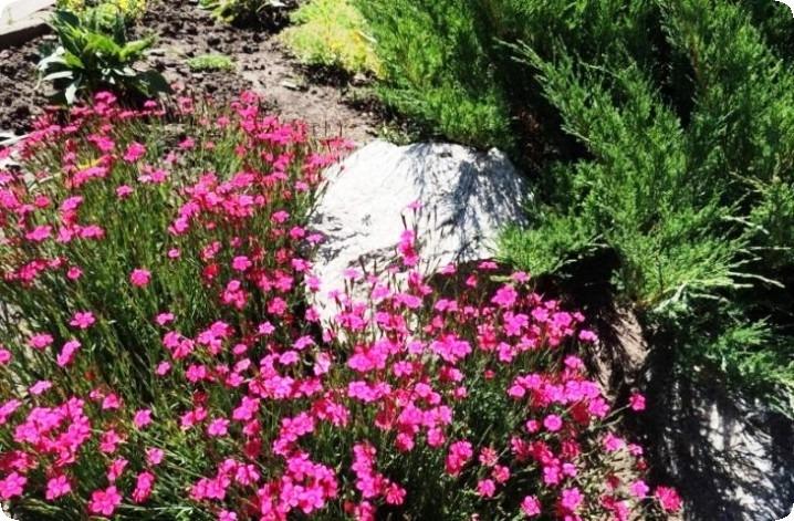 гвоздика травянка в ландшафте сада