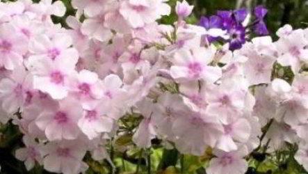 Как сажать флоксы: семенами, черенками, корневищем, саженцами