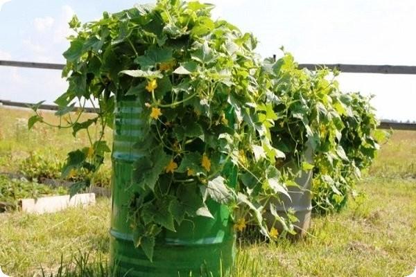 огурцы в бочке выращивание в подмосковье