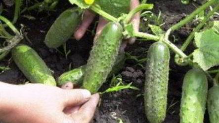 Выращивание огурцов в Подмосковье в открытом грунте