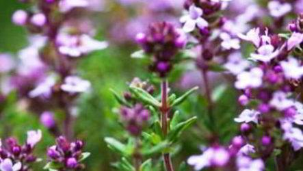 Тимьян и чабрец — это разные растения или одно и тоже?