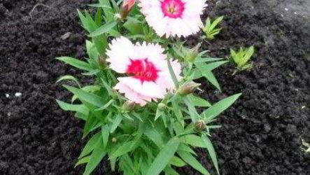Как посадить гвоздику многолетнюю в грунт рассадой, семенами