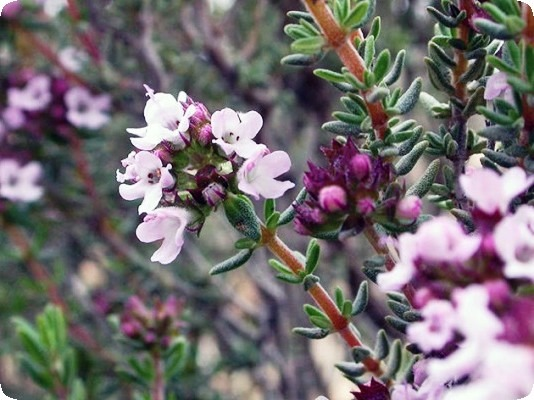 растение тимьян описание фото