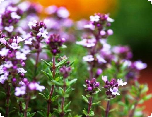 трава тимьян цветение