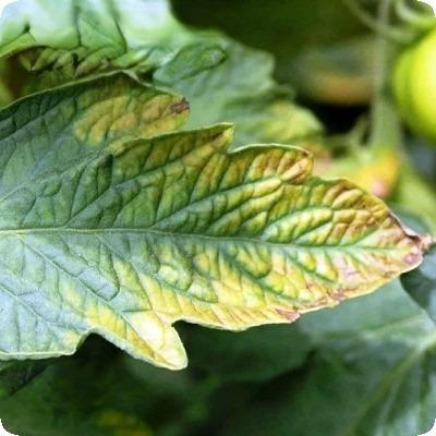 желтеют края листьев у томатов в теплице