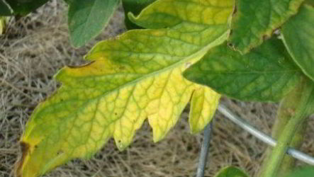 Почему у томатов в теплице желтеют листья, причины, лечение