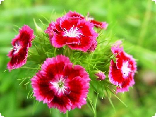 гвоздика травянка многолетняя