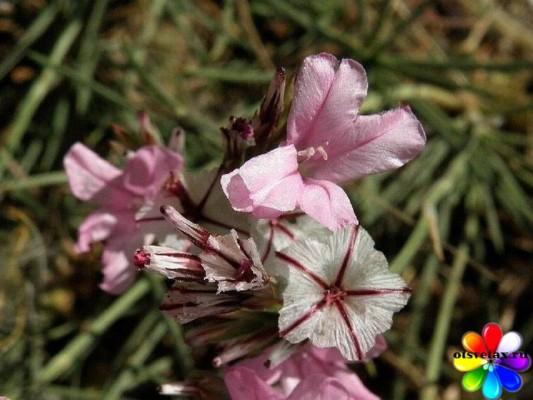 Acantholimon acerosum