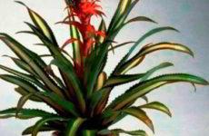 Ананас крупнохохолковый – комнатное растение выращивание и уход