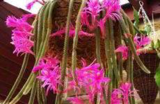 Апорокактус плетевидный (Дизокактус) описание, родина, уход