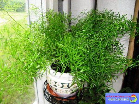 цветок аспарагус в домашних условиях