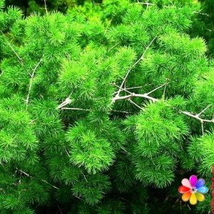 Аспарагус фото растения в саду и дома