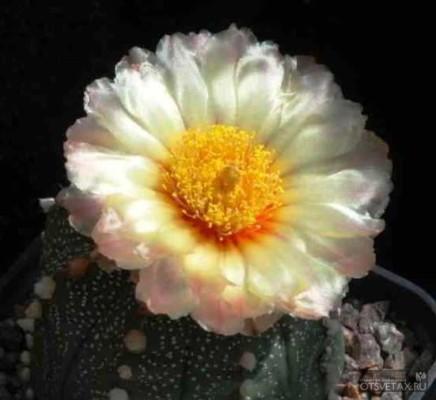 кактусы виды фото с названиями