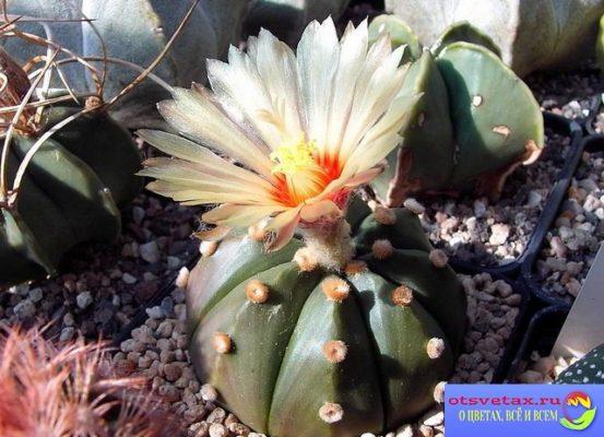 Astrophytum_asterias кактус астрофитум звёздчатый