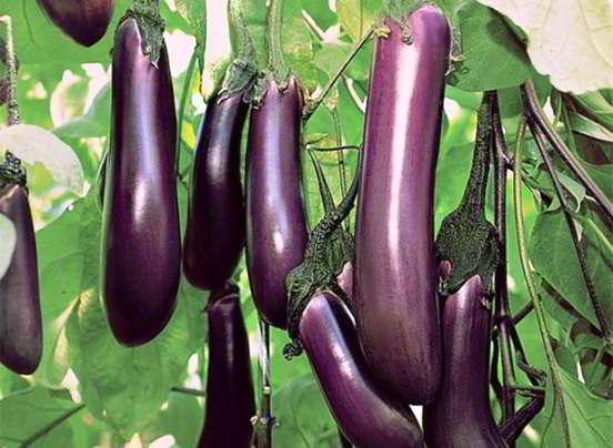 баклажаны условия выращивания