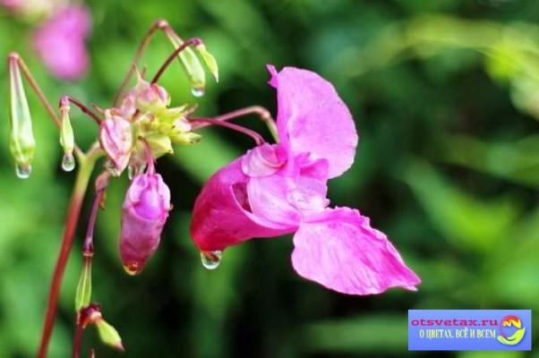 бальзамин садовый выращивание из семян в сибири