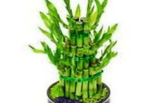Драцена Сандера бамбук принесёт в ваш дом счастье