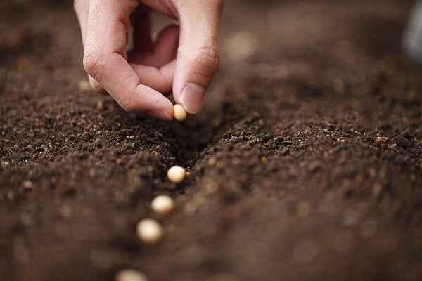 Барбарис посадка семян в грунт