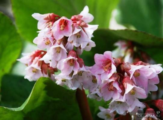 бадан посадка и уход в открытом грунте весной