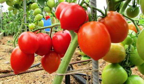 помидоры для теплицы из поликарбоната сорта лучшие в подмосковье