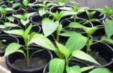 Чем подкормить рассаду перцев, чтобы были толстенькие стебли