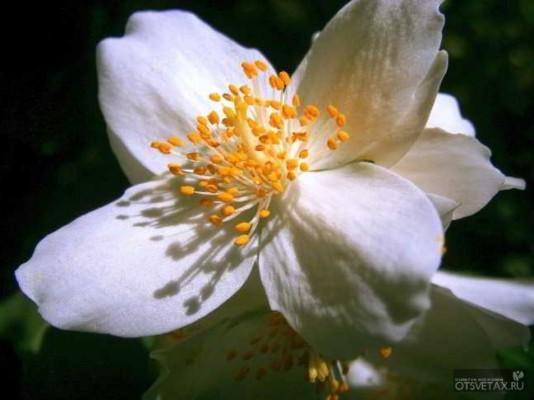 жасмин садовый посадка и уход фото цена
