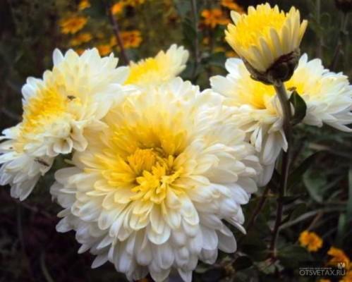 хризантема в горшке уход в домашних условиях весной