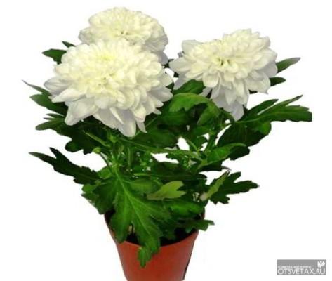 хризантема комнатная уход в домашних условиях фото