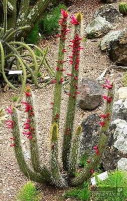 кактусы виды фото с названиями цветущие