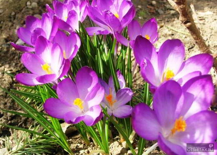 какие цветы сажают осенью на даче для цветения весной и летом видео
