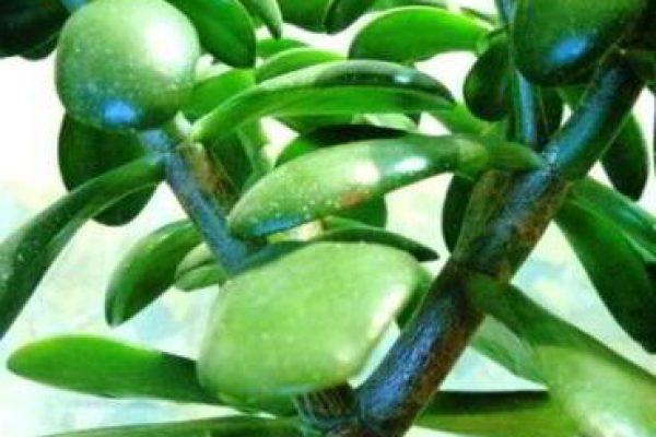 денежное дерево уход в домашних условиях цветение лечебные свойства