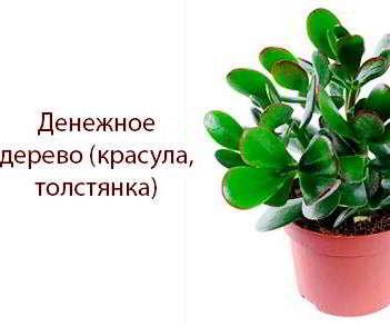 Денежное дерево польза и вред для человека. Денежное дерево