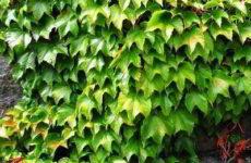 Виноград дикий: применение при вертикальном озеленении