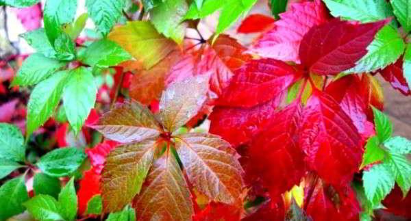 девичий виноград листья